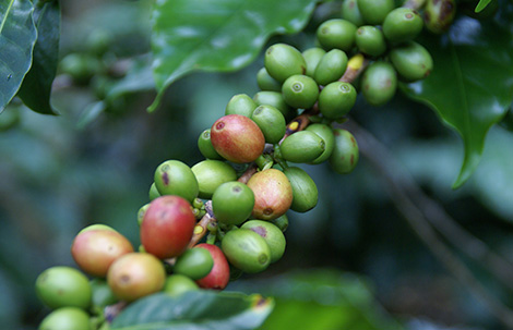 carusos coffee sourcing